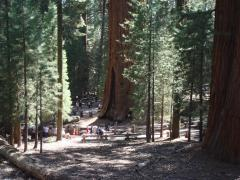 General Sherman Tree: the largest tree on earth (by volume)