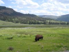 A bison right after entering Yellowstone National Park from the Northeast entrance